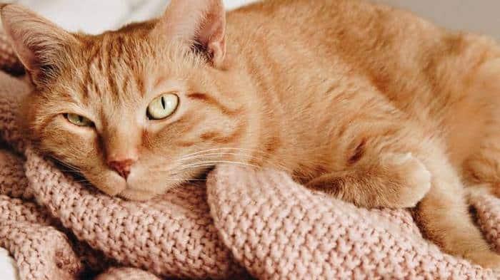 Ciri Ciri Kucing Hamil Setelah Kawin