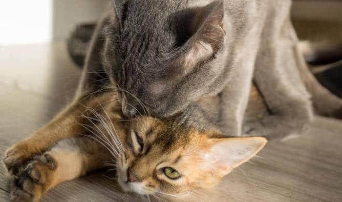 Ciri Ciri Kucing Gagal Kawin
