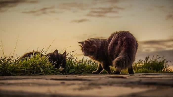 Ciri Ciri Kucing Mau Kawin