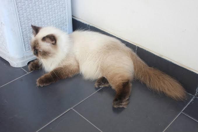Ciri Ciri Kucing Himalaya Asli