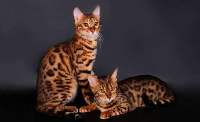 Ciri Ciri Kucing Bengal