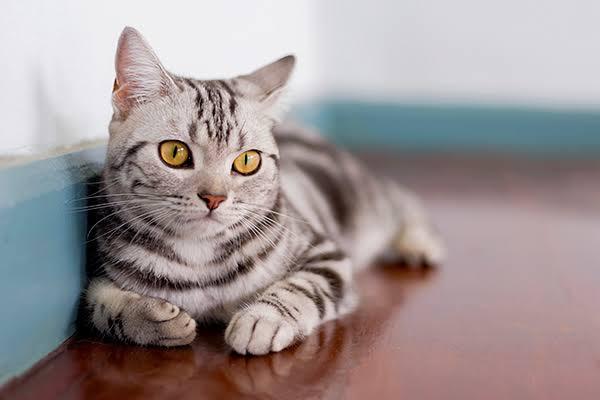 Ciri Ciri Kucing American Shorthair